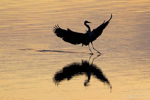 Great Blue Heron Landing on Hood Canal