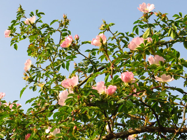 Dog roses on the Little Tumulus Field