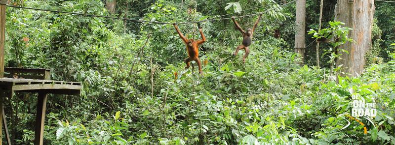 Orangutans at the Sepilok Orangutan sanctuary, Sabah, Malaysia