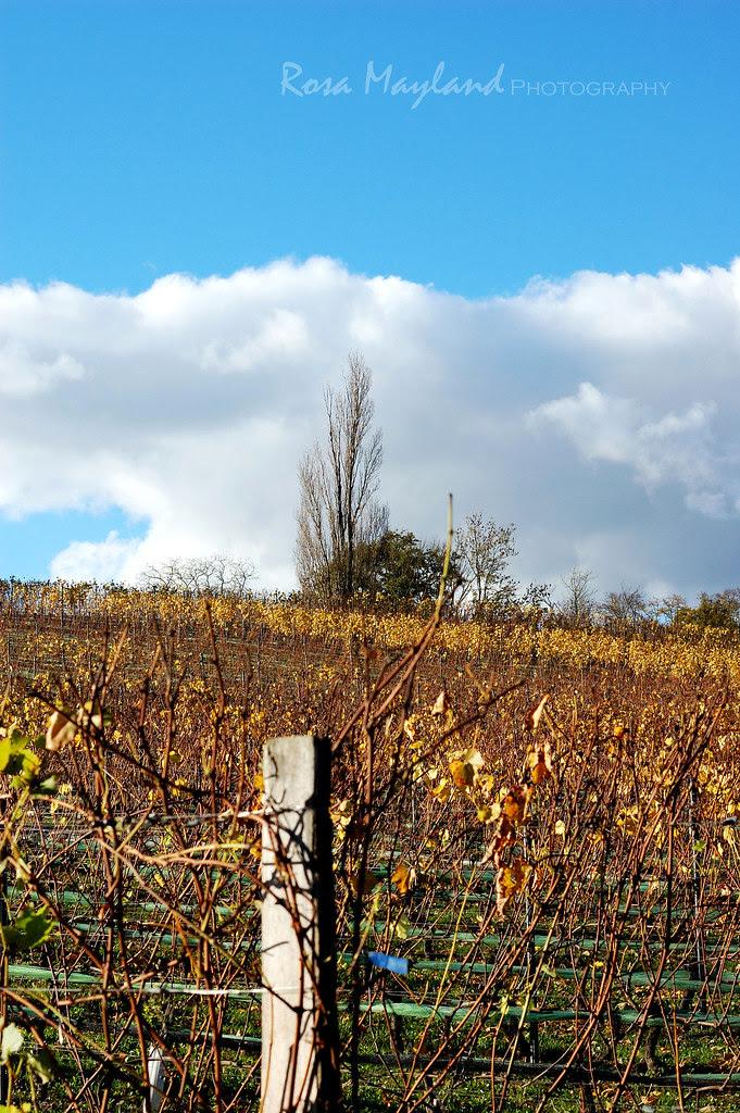 An Autumn Walk Through The Vineyards