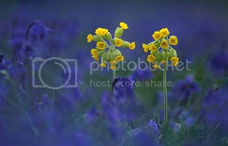 photo cowslips-amongst-bluebells_zpsikozi837.jpg