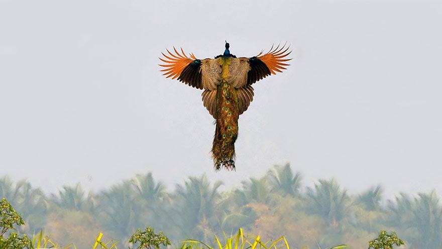 pavos-reales-volando (3)