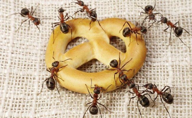 guerra contra as formigas solucoes caseiras e dicas para extermina las Guerra contra as formigas: soluções caseiras e dicas para exterminá las