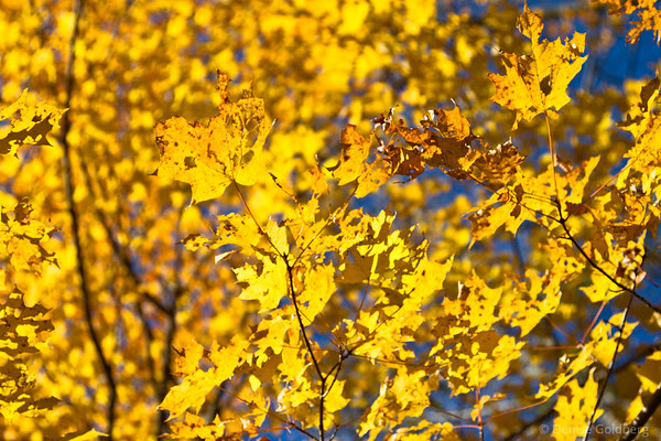 bright yellow leaves against a clear blue sky