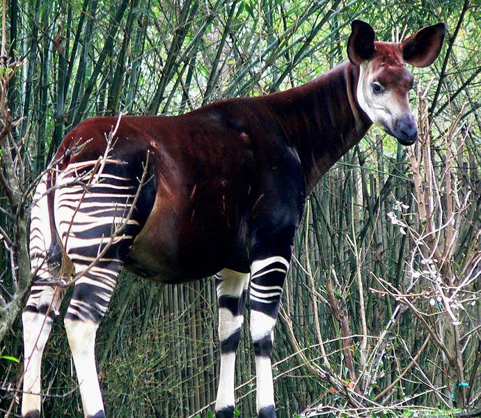 ملف:Okapi2.jpg