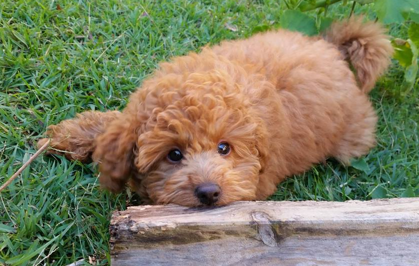 Shichon Express   Teddy Bear Puppies Dogs For Sale In Iowa