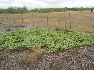 Spring 2017 Sweet Potato Vines