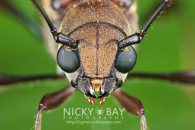 Longhorn Beetle (Cerambycidae) - DSC_6268