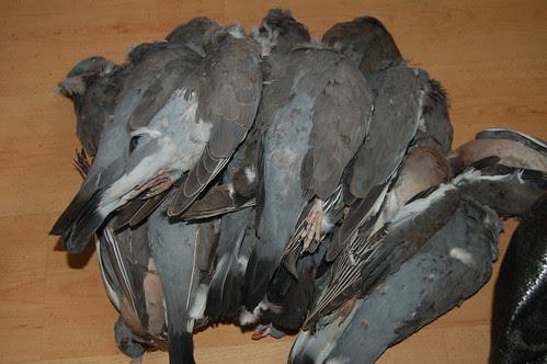 wood pigeons Aug 11 2