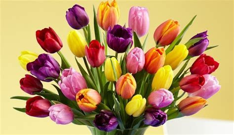 Tulips: National Flower of Afghanistan   Meaning of the Tulips