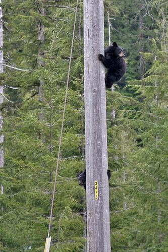 cubs up a pole