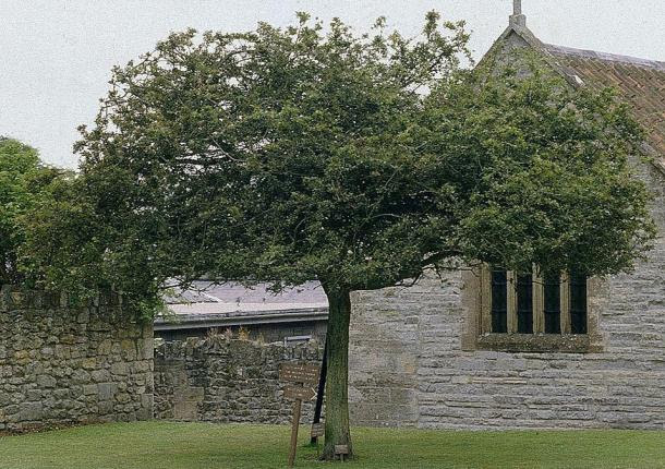 A Glastonbury Thorn at Glatonbury Abbey, 1984. This tree died in 1991 and was removed in 1992.