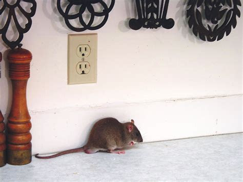 How to Get Rid of Rats in Kitchens