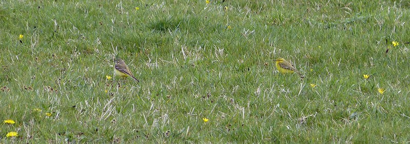 P1040734_3 - Yellow Wagtail, Kenfig
