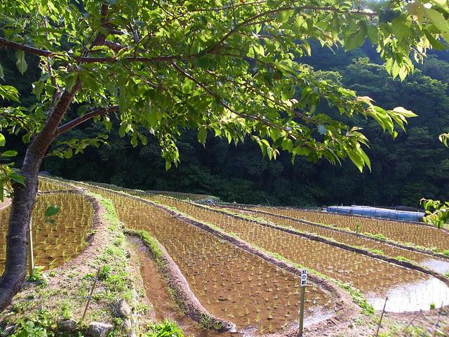 2012 田植え