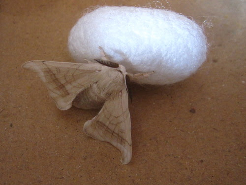 Silkworm moth and cocoon