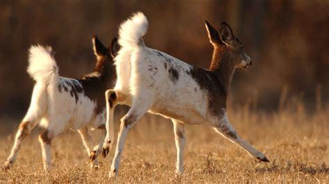 white deer understanding  common animal  uncommon
