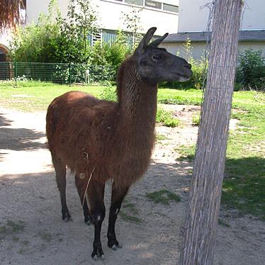 Leipziger Zoo Lama Horst