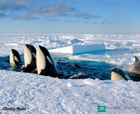 Uma orca pod dar uma lufada de ar no Oceano Ártico