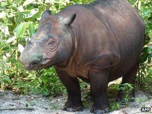 Ρινόκερος της Σουμάτρας