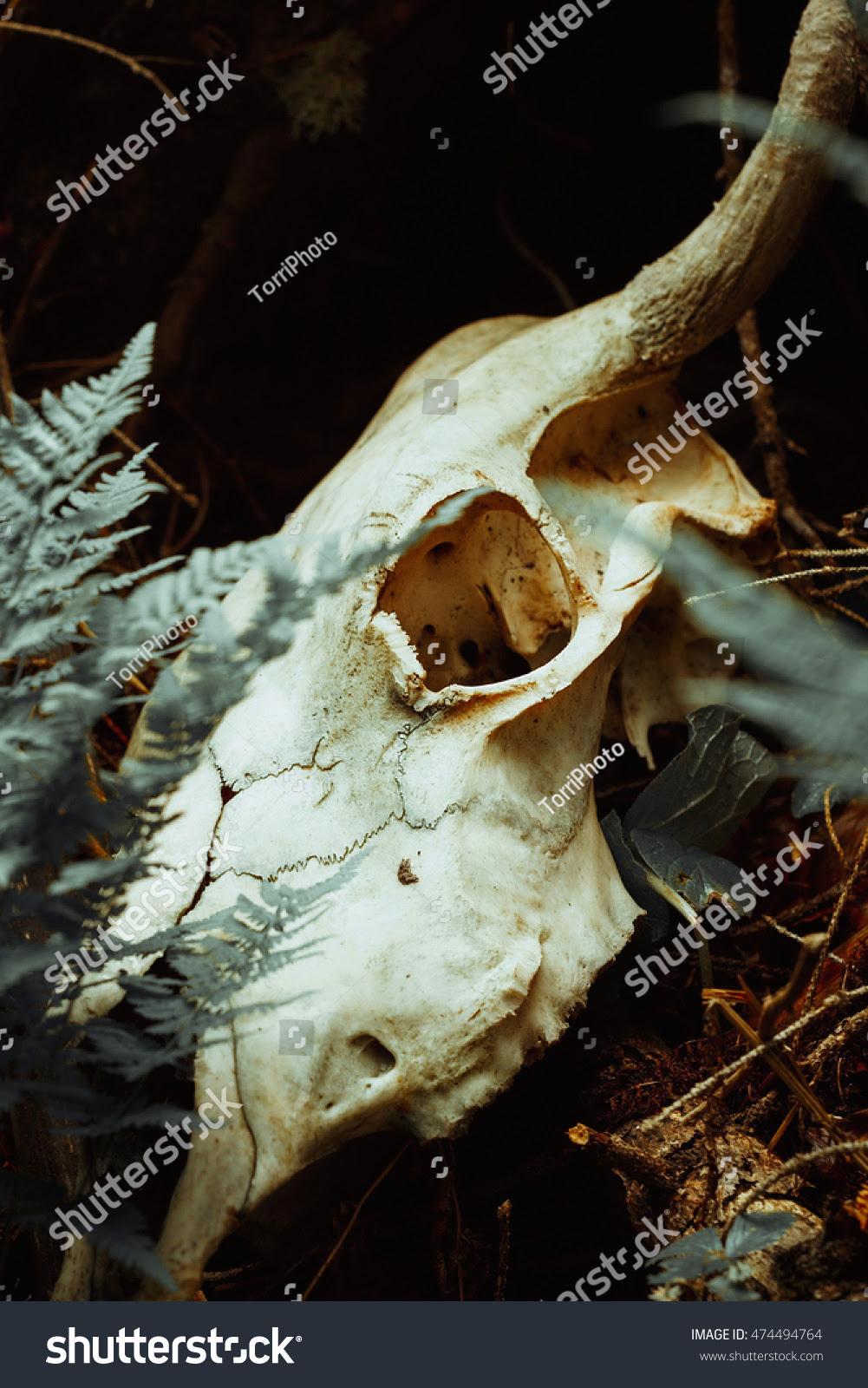 Closeup bull skull among fern leaves. Vintage toned faded image