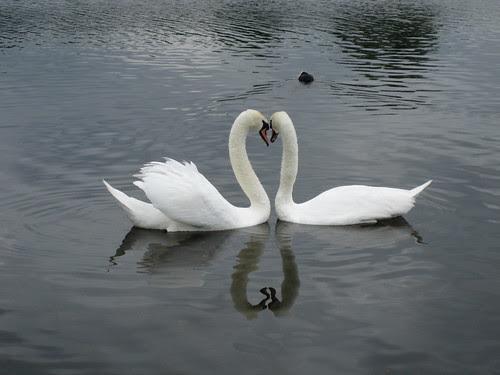 Kensington Garden Swans