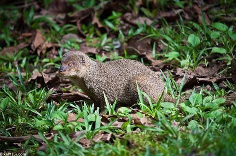 Hawaii Mongoose   Maui Animal of the Month