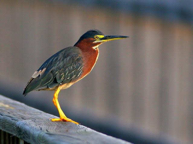 Green Heron 20100712