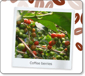http://www.brightertomorrow.info/Ndumberi-Coffee-Origins.htm
