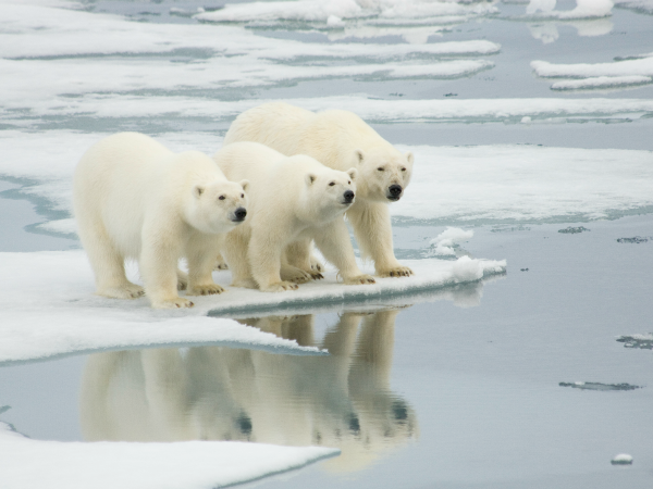 Animales Oso Polar