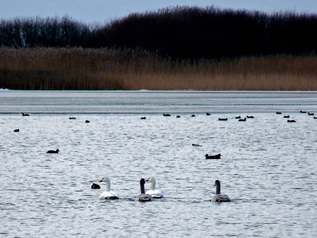 23758 - Bewicks Swan, Kenfig NNR