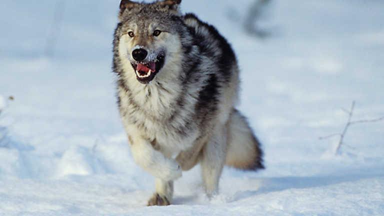 Grandes Documentales Lobos Contra Búfalos Rtvees