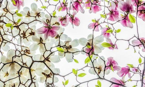 Leitores jeonhaeon Flor Festa da Primavera