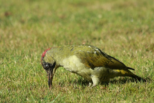 Green Woodpecker - Picus viridus