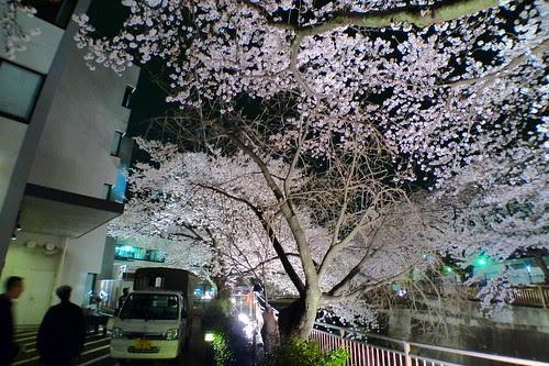 Traversing past cherry blossom trees