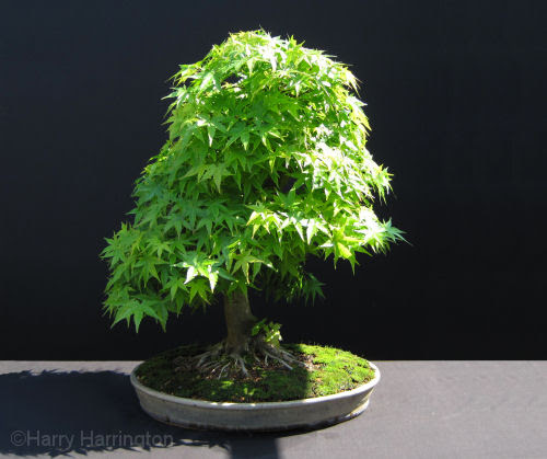 acer palmtum bonsai