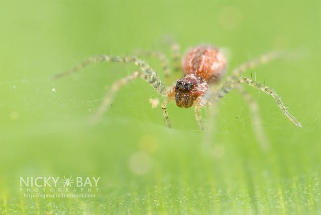 Nursery Web Spider (Pisauridae) - DSC_2046
