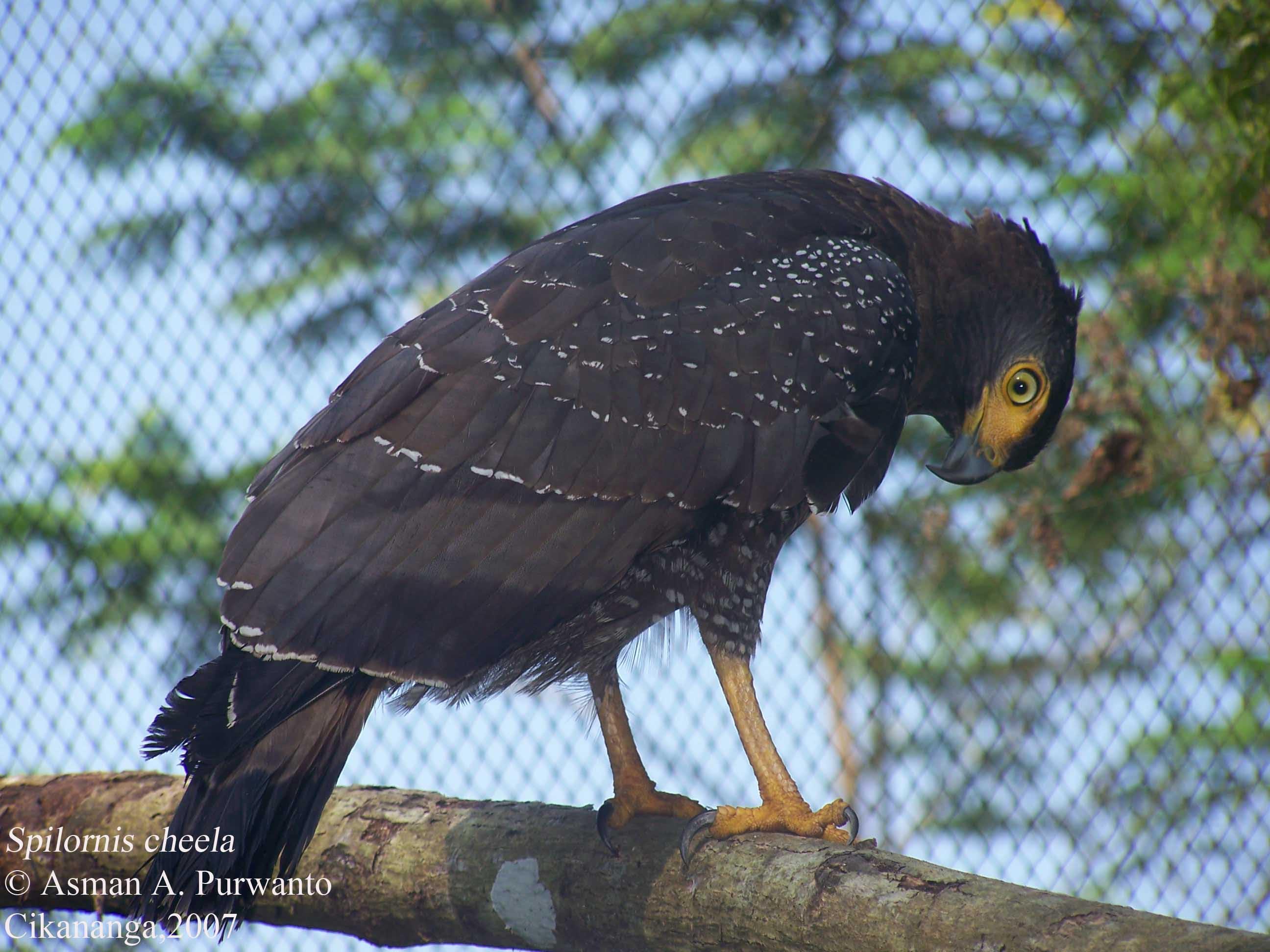 Unduh 94+ Foto Gambar Burung Elang Ular Bido  Terbaru Gratis