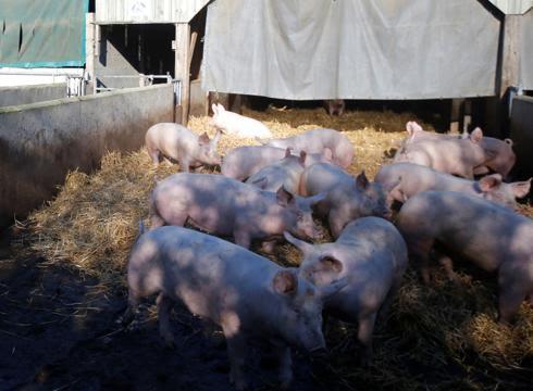 La mala gestión de los residuos en las granjas de cerdos causa daños ambientales importantes
