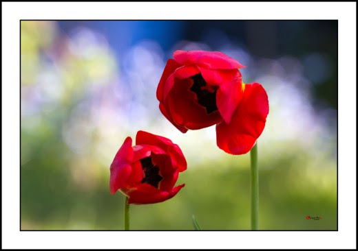002 Tulip