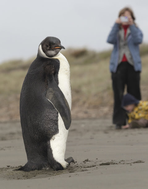 In this photo taken Tuesday June  21, 2011, a woman photographs an Emperor penguin on Peka Peka Beach of the Kapiti Coast in New Zealand. Emperor penguins typically spend their entire lives in Antarctica and almost never make landfall near humans, with the last sighting in New Zealand being more than 44 years ago. (AP Photo/New Zealand Herald, Mark Mitchell) NEW ZEALAND OUT, AUSTRALIA OUT