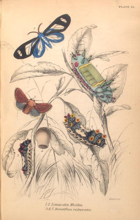 1. 2. Limacodes Micilia; 3. 4. 5. Doratifera vulnerans.  (1843)