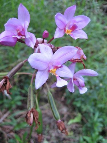 wild orchids, Tahuata