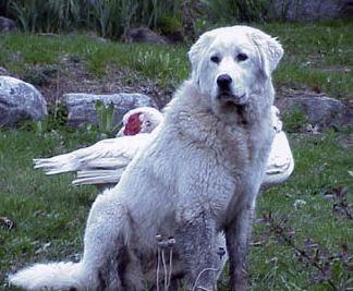 Akbash Dog Top Breeds