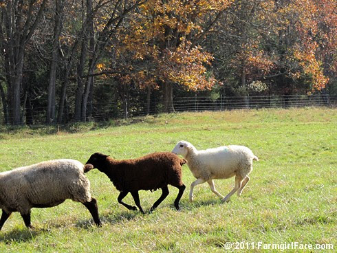 Rounding up the sheep surrounded by autumn color 8 - FarmgirlFare.com