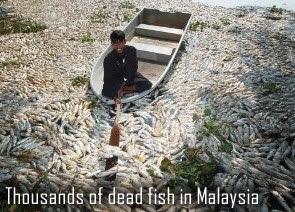 Dead fish in Malaysia