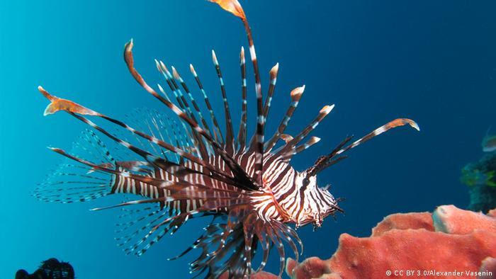 Un pez león bajo el agua.