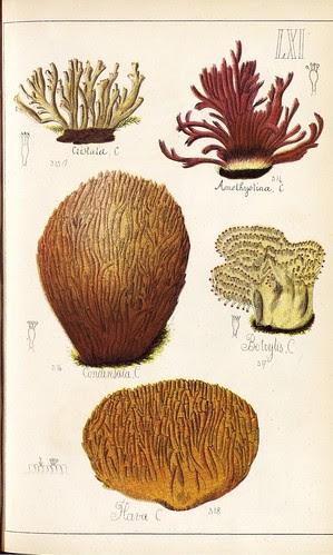 Cristata, Amethystina, Condensata, Botrylis, Hava spp.