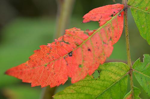 first red leaf