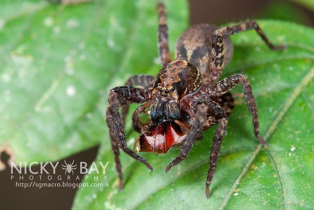 Wandering Spider (Ctenidae) - DSC_8875